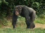 one chimpy boi