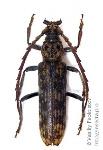 rhytidodera