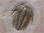 Trilob