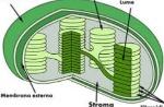 cloroplasti