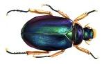 scarabee_klein