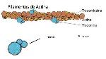 fisiologa-contraccin-muscular-sarcomero-actina-miosina-troponina-7-638