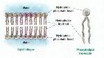 membranebilayer