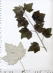 Populus_alba