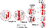 Meiosis_Overview_new.svg (2)