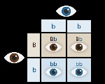 punnett_square_eyes_yourgenome (2)