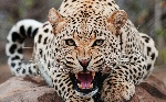 Jaguar-11