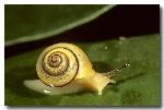 012-rainforest-snail-stylommatophora-px-269
