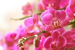 blooming-pink-orchid-on-a-green-branch-157480173-588b8b753df78caebc4665cb