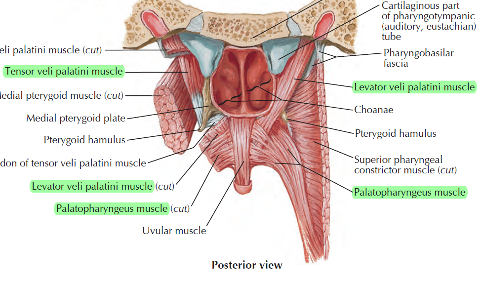 Oral Cavity Pharynx Week4