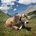 1200px-CH_cow_2_cropped