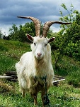 220px-Irish_Goat