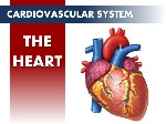 circulatory-system-the-heart-1-638