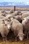 170px-Flock_of_sheep