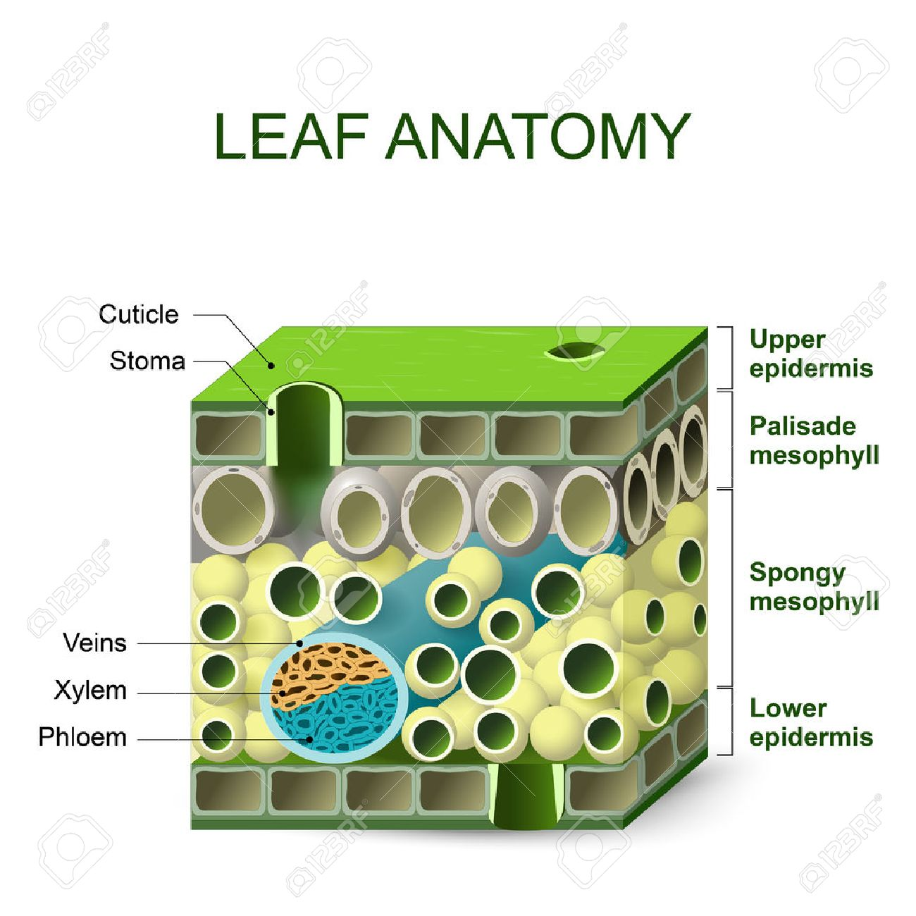 63903573-leaf-anatomy-diagram-of-leaf-structure