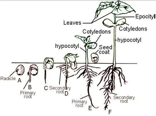 sexual reproduction rh coggle it diagram of seed germination diagram of hypogeal germination