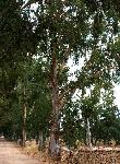 Eucalyptus_camaldulensis-0-00