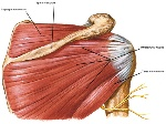 Supraspinatus,infraspinatus,teres minor, posterior view