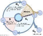 22-Cell-cycle