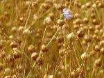 flower_flax_field1