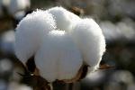 Cotton_Boll_3