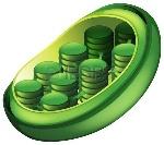 16988264-ilustración-de-un-cloroplasto