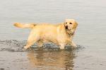 cane-di-labrador-divertendosi-al-mare-69607780