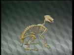 scheletro lepre