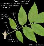 compund leaf