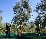 merenda-tra-gli-uliveti-della-campagna-umbra-con-confezione-d-olio-extravergine-d-oliva