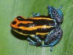 Los-anfibios-con-defensas-venenosas-tienen-mayor-riesgo-de-extincion_image800_