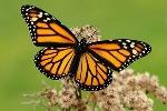 características-mariposa-adulta