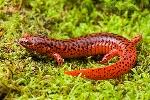 Salamandra roja