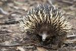6-interesantes-datos-que-debes-conocer-sobre-los-equidnas-adorables-y-curiosos-animales