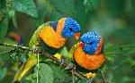 Pájaros-exóticos-13