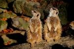 meerkat-736358_960_720