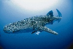 00708wetwhaleshark