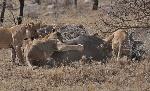 piepvandaag-leeuwen-buffel