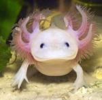 axolotl-kopen-300x292