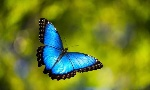 vlinder-blauwe-morpho2
