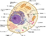 diagram-of-an-animal-cell