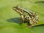 жаба зел