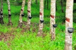 rubber-trees