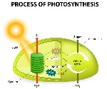 1200-68059181-photosynthesis-function
