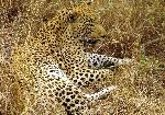 Great_male_Leopard_in_South_Afrika-JD