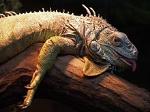 220px-Iguana_iguana_1_AB
