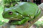 240px-Australia_green_tree_frog_(Litoria_caerulea)_crop