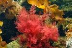черв водорасли