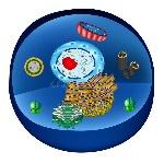 struttura-delle-cellule-umane-organelli-il-nucleo-del-centro-endoplas-83985072