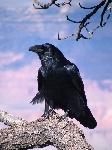 Common_Raven_Grand_Canyon_1